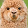 How Much Do Alpacas Cost?